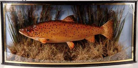 lightbrowntrout[1].JPG